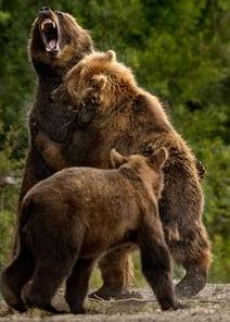 de beren in mijn hoofd worden groot als grizzly beren